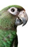 Papagaio novo Imagens de Stock