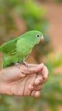 Papagaio novo na mão Fotos de Stock