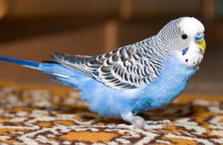 Papagaio ondulado Imagem de Stock Royalty Free