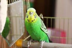 Papagaio ondulado em uma gaiola imagem de stock royalty free