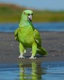 Papagaio pelo mar Fotografia de Stock