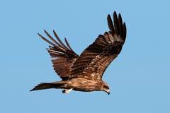 Papagaio preto Foto de Stock