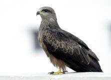 Papagaio preto Imagem de Stock