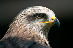 Papagaio preto Fotografia de Stock Royalty Free