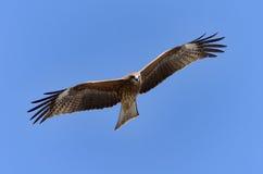 Papagaio preto de voo. Imagem de Stock Royalty Free