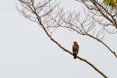 Papagaio preto, Eagle no parque nacional de Conkouati-Douli, Congo fotos de stock royalty free