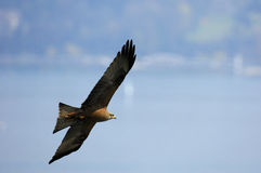 Papagaio Preto-Empurrado Fotografia de Stock