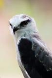 papagaio Preto-empurrado Imagens de Stock