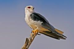 papagaio Preto-empurrado Fotos de Stock