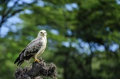 papagaio Preto-empurrado, caeruleus do Elanus, com as garras amarelas brilhantes, imagem de stock