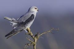 papagaio Preto-empurrado com a cauda armada fotos de stock royalty free