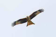 Papagaio preto (Milvus Migrans) em voo Imagem de Stock