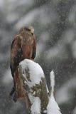 Papagaio preto no inverno imagens de stock royalty free