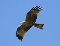 Papagaio preto no vôo Foto de Stock Royalty Free
