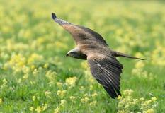 Papagaio preto no vôo Imagem de Stock