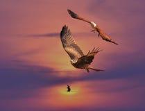 Papagaio preto & papagaio de Brahminy Fotos de Stock