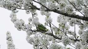 Papagaio que come flores video estoque