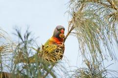 Papagaio que come o fruto Imagem de Stock Royalty Free