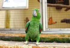 Papagaio que faz o gesto engraçado do corpo Fotografia de Stock Royalty Free