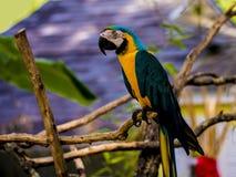 Papagaio que pendura na árvore do eucalipitis foto de stock royalty free