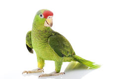 Papagaio Red-headed mexicano de Amazon imagem de stock