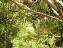 Papagaio selvagem de Kramer que joga em um ramo fotos de stock