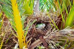 Papagaio selvagem verde que constrói um ninho na palmeira, Barcelona Imagens de Stock Royalty Free