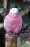 Papagaio sonolento cor-de-rosa Imagens de Stock Royalty Free