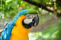 Papagaio tropical Imagens de Stock Royalty Free