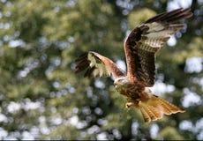 Papagaio - vôo do pássaro imagem de stock