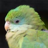 Papagaio verde Imagens de Stock Royalty Free