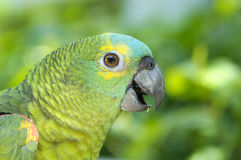 Papagaio verde Fotos de Stock