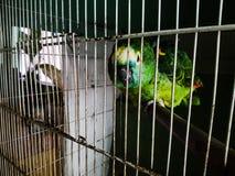 Papagaio verde Fotografia de Stock Royalty Free