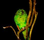 Papagaio verde aparentemente decapitado no ramo, fundo preto do entalhe Imagem de Stock