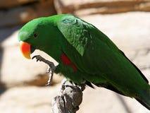 Papagaio verde-claro com o bico amarelo e alaranjado fotografia de stock royalty free
