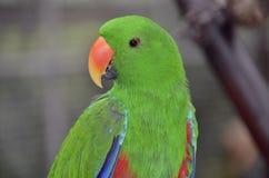 Papagaio verde de Eclectus imagem de stock royalty free