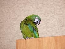 Papagaio verde doméstico nos apartamentos da cidade imagem de stock