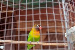 Papagaio verde e amarelo na gaiola Ilha tropical de Bali, Indonésia imagem de stock