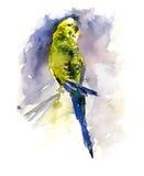 Papagaio verde e amarelo no fundo azul Pintura da aguarela Fotografia de Stock Royalty Free