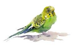 Papagaio verde e amarelo no fundo branco Pintura da aguarela Imagens de Stock Royalty Free