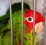 Papagaio verde em uma gaiola, fim acima do retrato do prisioneiro triste imagem de stock royalty free