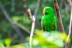 Papagaio verde na árvore Fotos de Stock Royalty Free