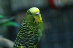 Papagaio verde na gaiola budgie parakeets O papagaio ondulado verde senta-se em uma gaiola Papagaio de Rosy Faced Lovebird em uma foto de stock royalty free
