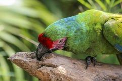 Papagaio verde no mexicano imagens de stock royalty free