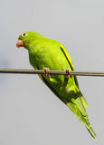 Papagaio verde nos fios Imagem de Stock