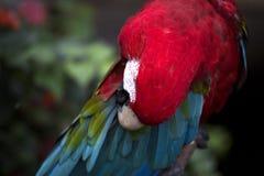 papagaio Verde-voado que enfeita-se seu Wing Feathers imagens de stock royalty free