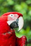 Papagaio vermelho Foto de Stock