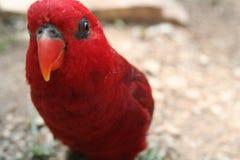 Papagaio vermelho Imagens de Stock