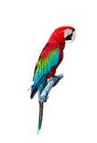 Papagaio vermelho Fotografia de Stock