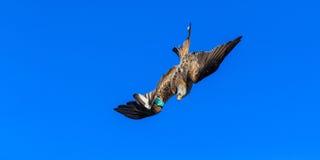 Papagaio vermelho Imagem de Stock